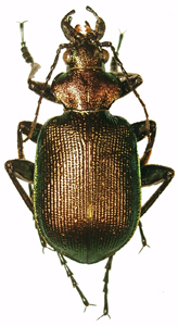 Calosoma (s. str.) inquisitor (L., 1758)